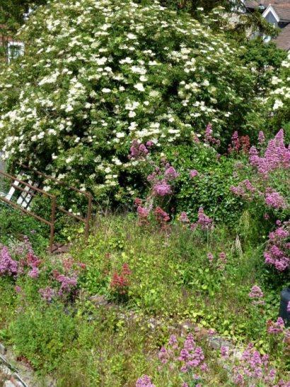 Lovely elderflowers