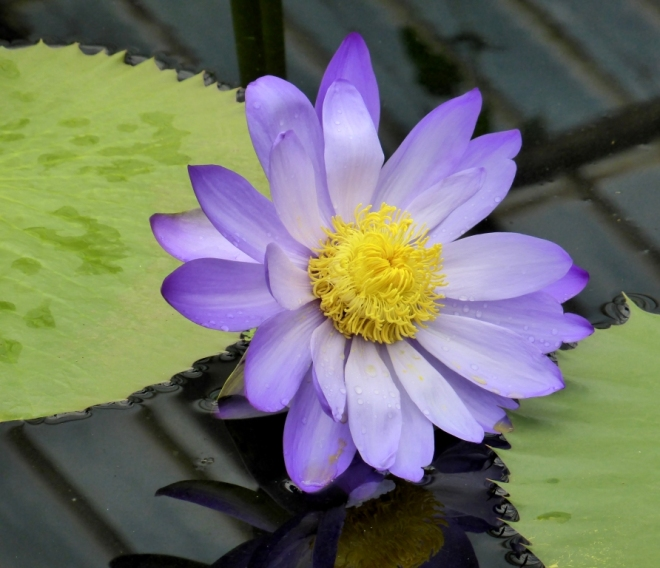 V - Victorian Waterlily House (3)