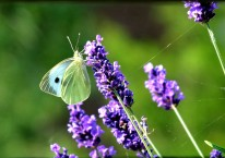 Female Small White Butterfly on lavender