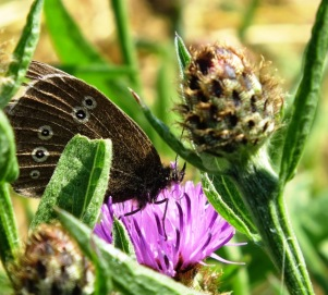 Ringlet butterfly on Knapweed