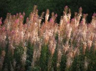 Rosebay Willowherb (August)