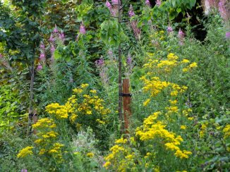 Ragwort and Rosebay Willowherb (August)