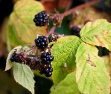 Blackberries (August)