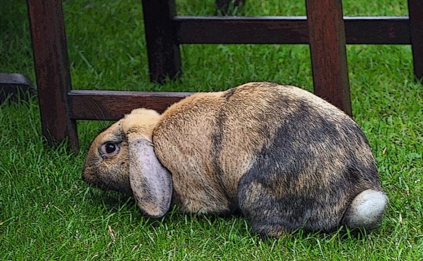The Rebellious Rabbit