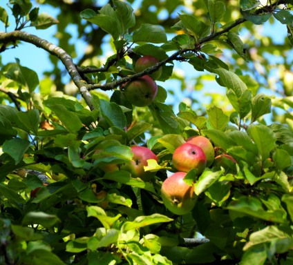 Cider Apples - Hereford
