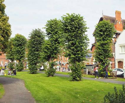 Lime / Linden Trees