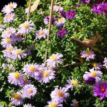 A trio of Michaelmas Daisies