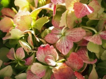 White hydrangea turns pink with age