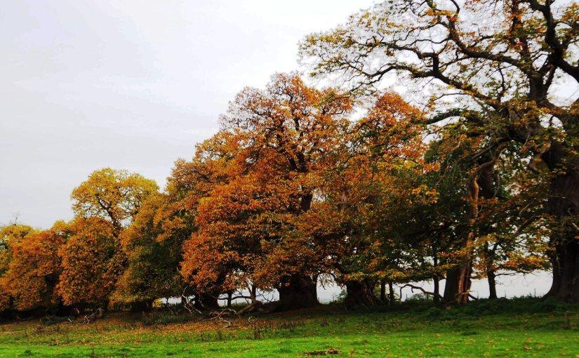 Ancient trees and the SpanishArmada