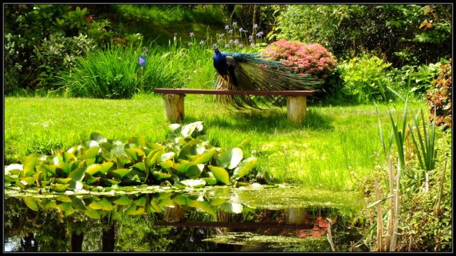 peacock in glenwhan garden
