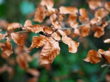 Burnished beech (December)