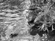 duck-(2)