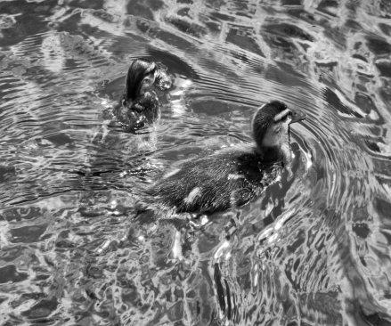 ducks-(4)