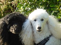 Poodles in Black and White