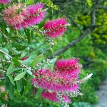 bottlebrush (2)