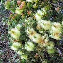 bottlebrush (3)