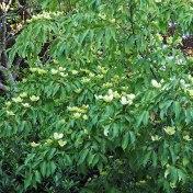 cornus tree (3)