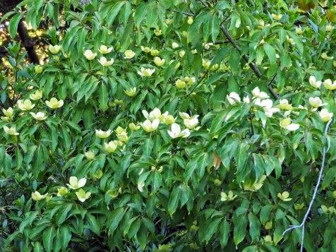 cornus tree (5)