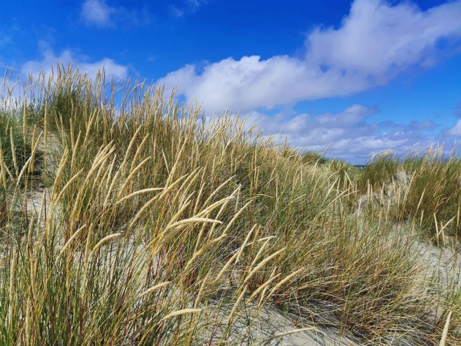 Marram Grass in the dunes